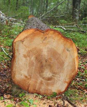 Alter des Baumes